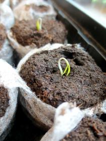 seedling-695138_1920