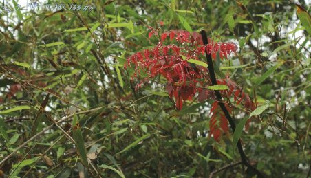 red_leaves3